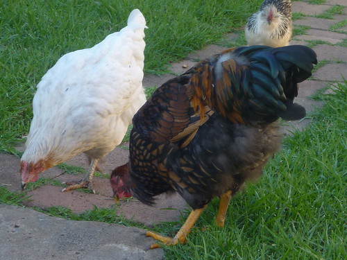 backyard poultry forum view topic free gold laced wyandotte