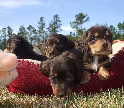miniature long haired dachshund puppies for sale. Long coat haired miniature