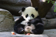 Yun Zi kicking back (San Diego Shooter) Tags: wallpaper zoo sandiego giantpanda sandiegozoo desktopwallpaper babypanda babypandas yunzi sandiegodesktopwallpaper