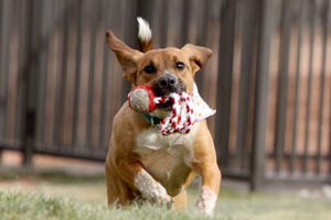 Dog running with a toy in her mouth at new puppy care center at Best Friends Animal Sanctuary