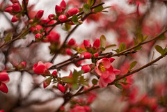 A Reminder (ChongoIsDanegerous) Tags: flowers red flower color weather contrast photography petals spring warm bright blossom snapshot blossoms picture petal photograph bloom dane bud blooms hillard sonyalphadslra200 danehillard