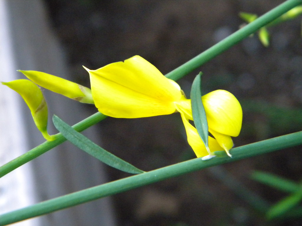Pictures of Spartium Junceum (Spanish Broom in bloom)