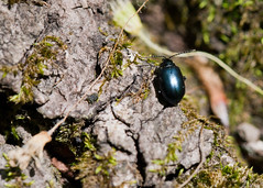 "C-Falls - sm black beetle • <a style=""font-size:0.8em;"" href=""http://www.flickr.com/photos/30765416@N06/5701539477/"" target=""_blank"">View on Flickr</a>"