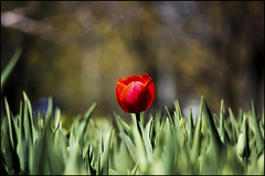 New Arrival (Brian 104) Tags: red flower tulip flickrduel