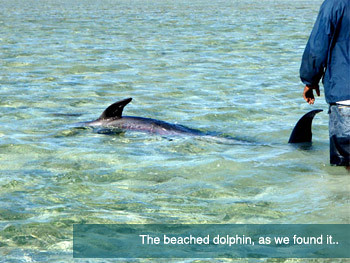 Beached dolphin as we found it.