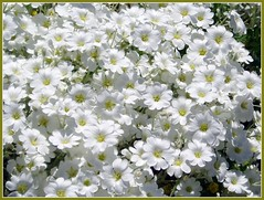 Delicate White (Glenn Harris (Clintriter)) Tags: flowers white yellow oregon blossoms center blooms hoodriver snowinsummer simplyflowers auniverseofflowers awesomeblossoms certastium