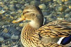 Duck, cropped (Vladi Stoimenov) Tags: bird water animals duck nikon crop 70200f4 d90