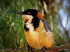 Eastern Spinebill (damselfly58) Tags: easternspinebill bird australianbird australia