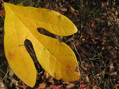 Yellow leaf (Moores Springs, North Carolina, United States) Photo