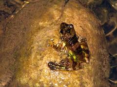 Mantidactylus sp. aff. femoralis (Linda DV) Tags: geotagged canon madagascar ranomafana frog amphibian lindadevolder powershots5is 2009 africa mantellidae amphibia