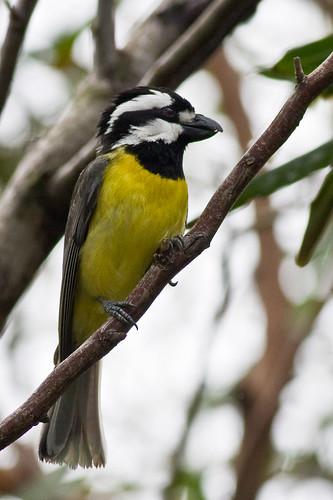 Eastern Shrike-tit