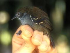 Epinecrophylla haematonotaMorona PE 7-01 (barbetboy) Tags: fbwnewbird fbwadded myrmotherula stipplethroatedantwren myrmotherulahaematonota epinecrophyllahaematonota