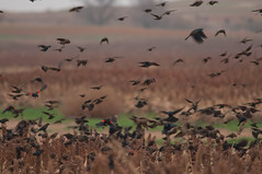 About a million Red-winged Blackbirds (Jet, Oklahoma, United States) Photo