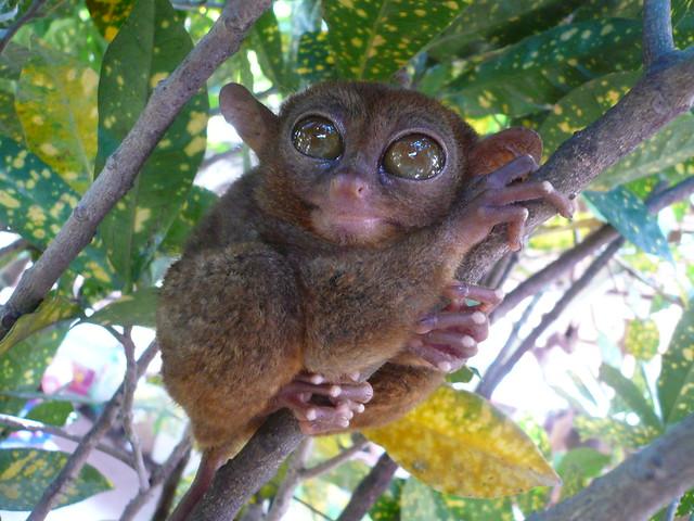 Tarseros monos ojos grandes