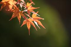 The instant (Virtual Zavie) Tags: autumn orange white black green leave japan maple hiroshima 日本 紅葉 広島 shukkeien 縮景園 sigma50150mmf28