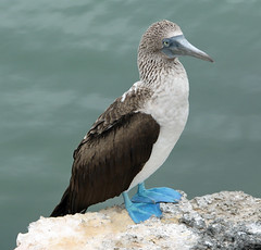 Blue-footed Booby (SamSpade...) Tags: blue birds canon ecuador feathers galapagos booby 265 sulidae footed sulanebouxii 3689 wingedwonders addictedtonature naturescarousel