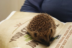A rather silly hedgehog. (LiamCH) Tags: england animal mammal nocturnal britain wildlife british hedgehog spine creature erinaceinae