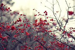 Winter Color (Brandon Christopher Warren) Tags: blue trees winter red plant black cold yellow vintage bush berries tones redberries asheboro ncstatezoo eos5dmarkii