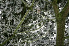 fir (Vanadisa) Tags: winter snow denmark december danmark 2009