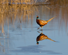 Walking on Water (Andrew Haynes Wildlife Images) Tags: reflection bird ice nature water pheasant wildlife warwickshire brandonmarsh canon7d ajh2008 carltonhide