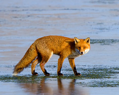 Fox (Andrew Haynes Wildlife Images ( away for a while )) Tags: nature mammal wildlife fox warwickshire vulpesvulpes brandonmarsh canon7d ajh2008 carltonhide wildinthemidlands