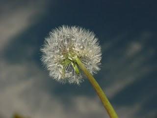 Craver's dandelion