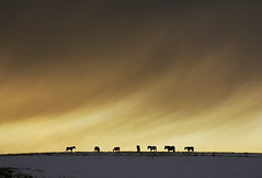Against a winters sky (adrians_art) Tags: winter sky horses cloud snow storm silhouette frost wind equine