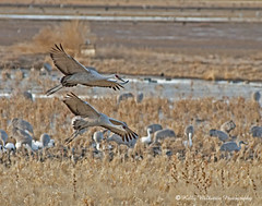 Sand Hill Cranes (Kelly Walkotten) Tags: newmexico bosquedelapache sandhillcranes snowgeese