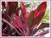 Cordyline terminalis or C. fruticosa (pink/maroon), in the neighbourhood