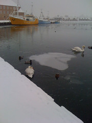Swan in Sønderborg Harbour