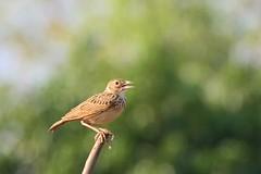 IndianBushlark