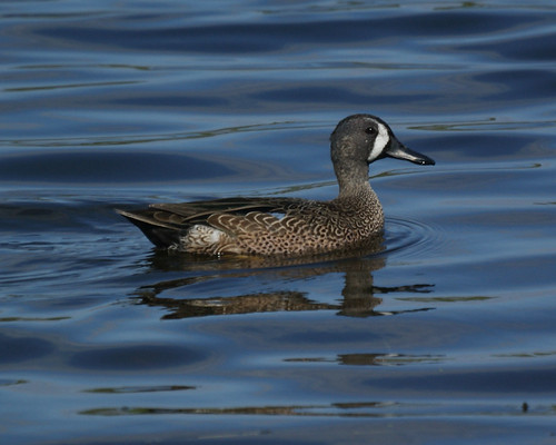 Blue-winged Teal: Naples FL