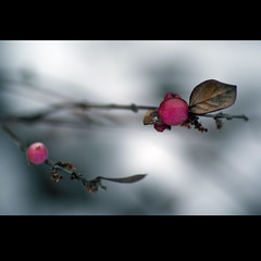 pink & pink (Yoko  (Paulina)) Tags: pink schnee winter snow nature germany deutschland berry dof bokeh sony natur nah kontrast wald beere februar 2010 fokus tiefenschrfe pinkebeere drwiss yoko87 yokosfoto pinkeperle yokosarts