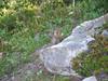 Ground Squirrel (samundrud) Tags: vacation09
