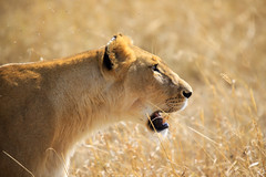 If looks could kill ... Lioness on the Masai Mara (mikel.hendriks) Tags: geotagged tanzania kenya wildlife safari explore flies serengeti frontpage lioness kenia masaimara leeuwin gamereserve iflookscouldkill africanlion maasaimara natuurreservaat supershot nationalreserve africanlioness specanimal afrikaanseleeuw canoneos50d platinumphoto impressedbeauty goldstarawardgoldmedalwinner humansettlement sigma120400mmf4556apodgoshsm nederzettingen nationalepark pantheraleomassaicus massailion mmnr massailioness losinganimalspecies alsbikkenkondendoden afrikaanseleeuwin massaileeuwin massaileeuw verdwijnendiersoorten