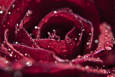Macro Rose (Modern Art Photograph) Tags: flowers roses flower macro rose closeupflowers closeupflower fantasticflower