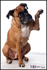Luna (maricaramelo) Tags: dog co studio cachorro boxer estdio