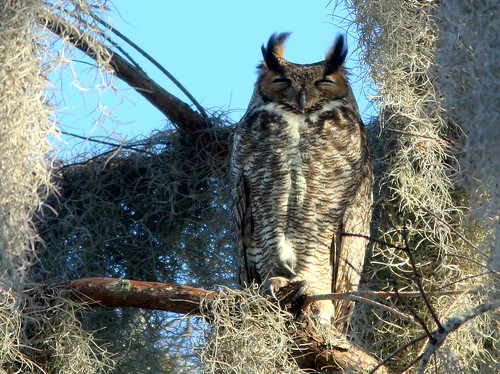 Great Horned Owl 20100228