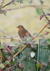 robin (robwiddowson) Tags: uk red plants bird fence garden breast foreground pirch
