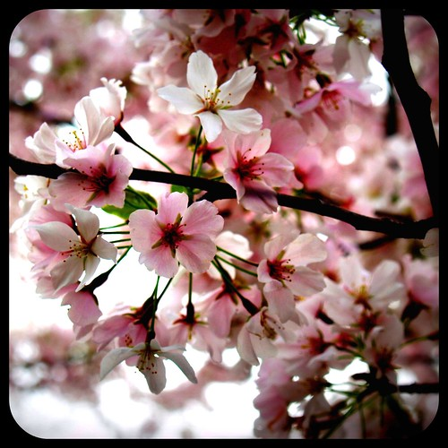 Cherry Blossoms new