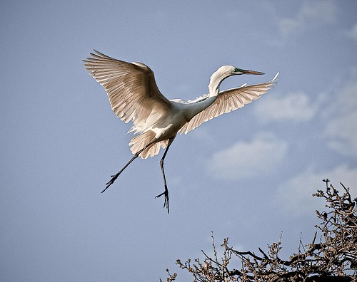 Egret Flying