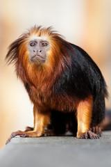 2010-04-02-10h14m37.272P6485l (A.J. Haverkamp) Tags: zoo thenetherlands apenheul apeldoorn dierentuin goudkopleeuwaapje goldenheadedliontamarin httpwwwapenheulnl canonef100400mmf4556lisusmlens