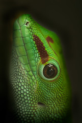 madagascar day gecko (iPhotograph) Tags: animal wow geotagged zoo stuttgart lizard gecko d200 wilhelma 500d closeuplens 70200mmf28gvr tc17eii madagascardaygecko phelsumamadagascariensismadagascariensis itsazoooutthere geo:lat=488062648841593 geo:lon=920633361451701