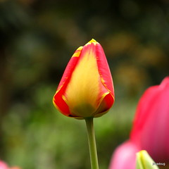 A tulip for you...