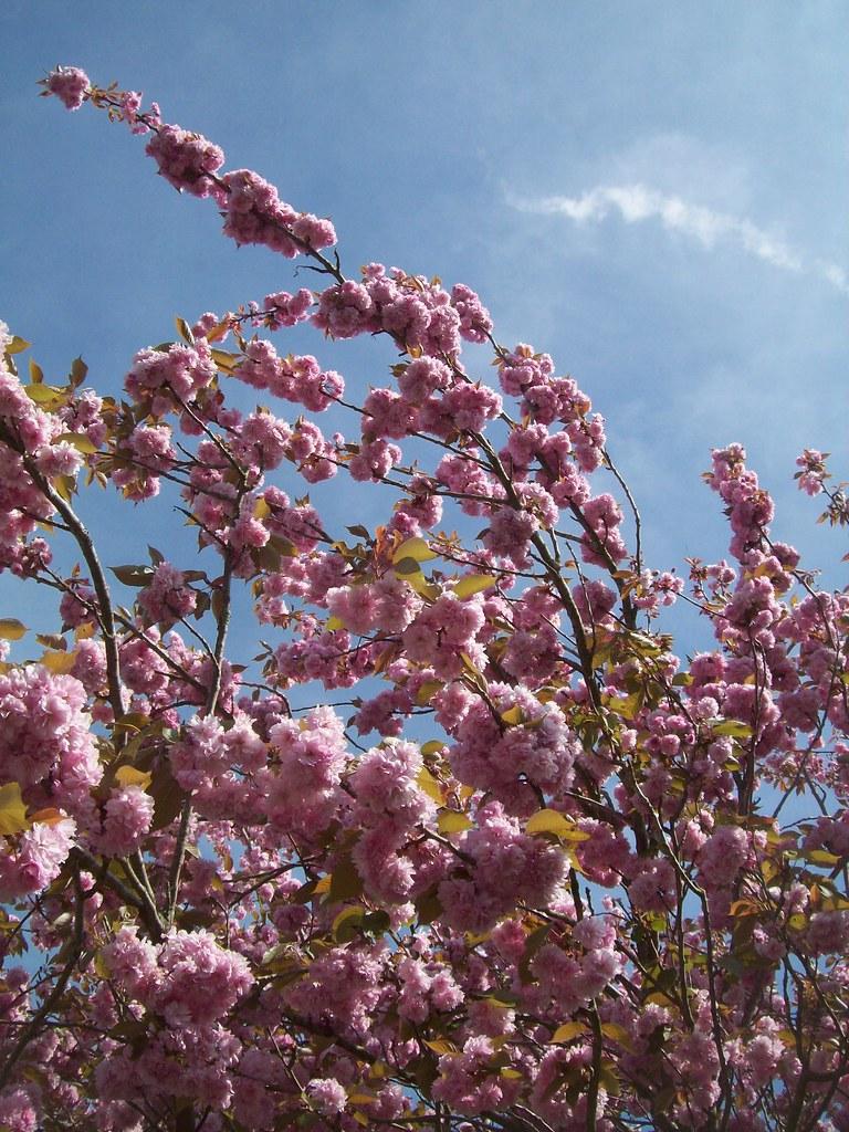 Photo: Cerisier à fleur du Japon 'Amanogawa'