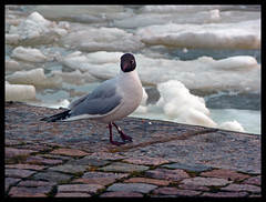 Mine! Mine! Mine! (R.i.c.a.r.d.o.) Tags: sea cold bird ice water rock port finland helsinki pavement helsnquia finlndia