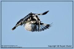 Pied Kingfisher (Rajani Chand) Tags: lake bird wet birds nikon natural action sigma kingfisher land aquatic pied habitat sanctuary hovering madivala rajani 150500mm d300s rajanichand lensandglare