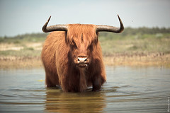 Highland Bull (Bastiaan Schuit) Tags: holland nature water netherlands canon walking cow fly dunes horns scottish bull highland angry egmond