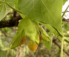 Abutilon sandwicense.  Hawai`i, O`ahu, Wai`anae Mountains, Palikea Gulch.  Plant 1. (jqcl) Tags: plants plant hawaii oahu endangered abutilon malvaceae waianaemountains kooloa nativehawaiianplant nativehawaiianplants abutilonsandwicense