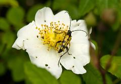 _DSC9074w (Adrian Royle) Tags: macro nature insect wildlife beetle lincolnshire coleoptera longhornbeetle cerambycidae rutpelamaculata bardneylimewoodsnnr